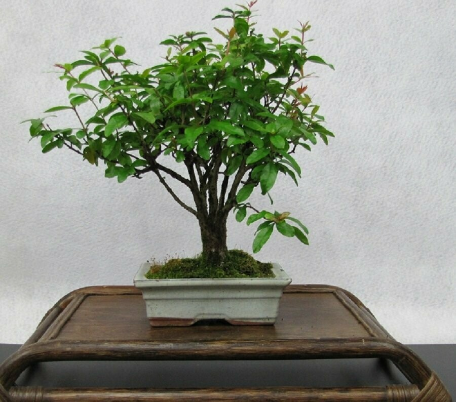 BONSAI Granatapfel, punica granatum