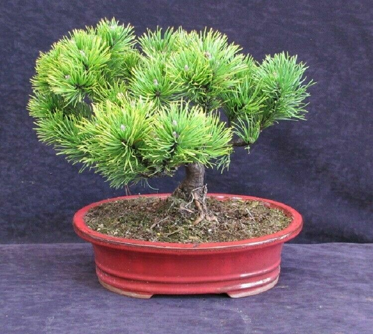 BONSAI Pinus mugo