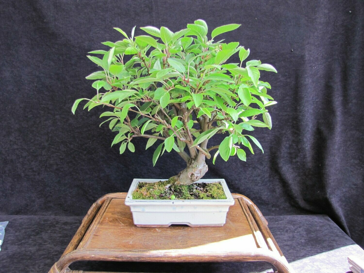 BONSAI Apfel malus