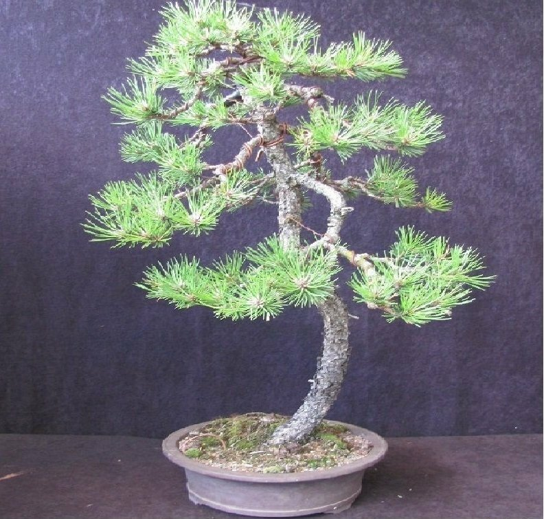 BONSAI - KIEFER WALDKIEFER PINUS SYLVESTRIS YAMADORI